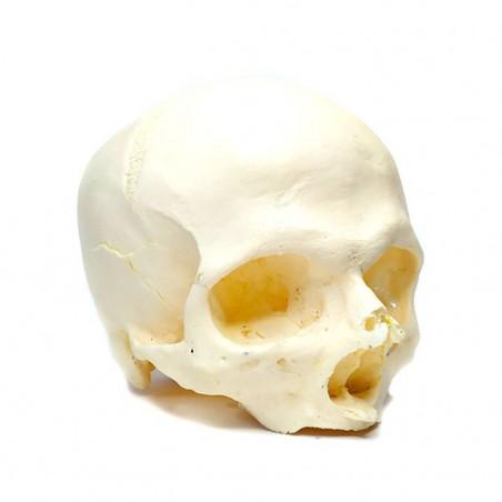 Skull - Replica 2 -